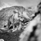 Loups-11