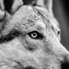 Loups-13
