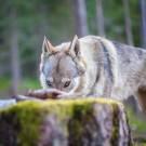 Loups-14