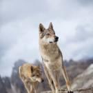 Loups-4