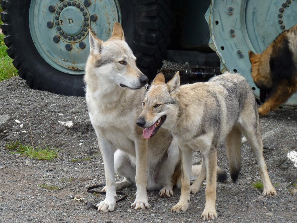 Rencontre a la maison altdeutsche schaferhunde berger for A poil a la maison