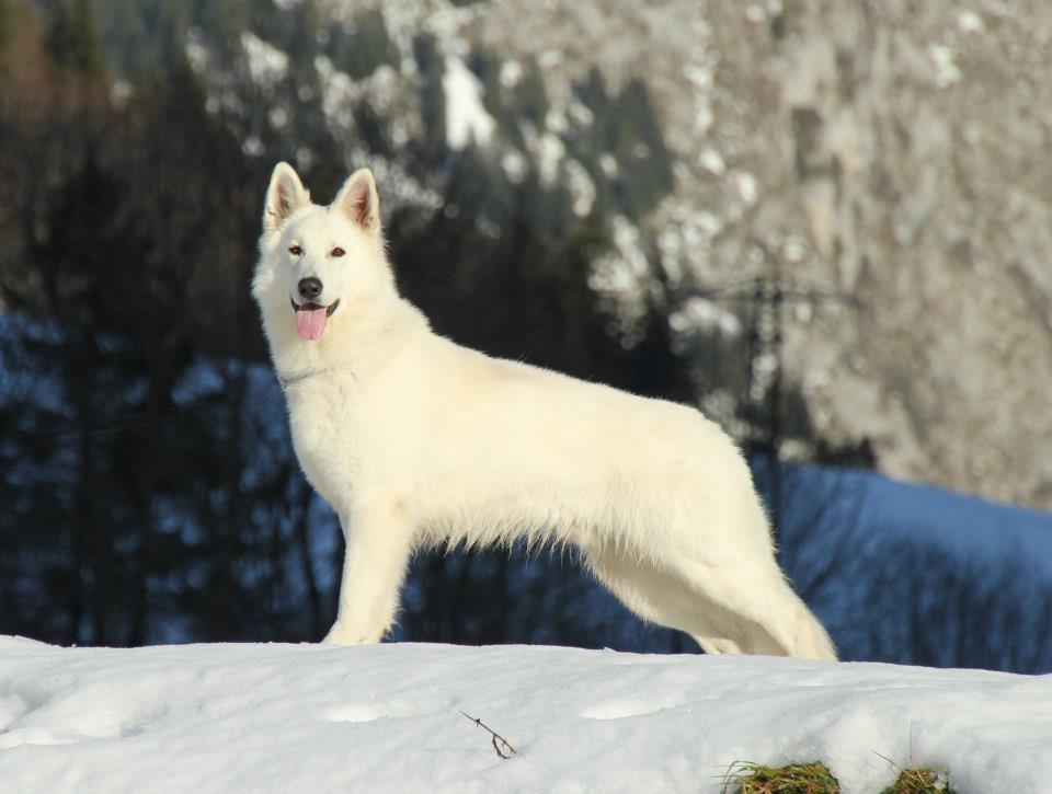 Hervorragend Bientôt des petits bergers blancs… | Chiens-loups tchécoslovaques  NY39