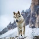 Loups-2