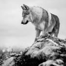 Loups-7
